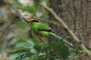 Red-billed Green Magpie