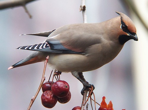 Japanese Waxwing, Bombycilla japonica