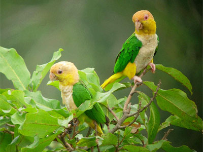 White-bellied Parrots (Pionites leucogaster)