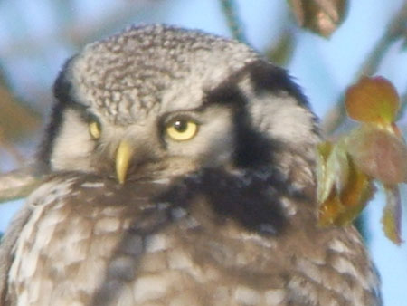 Hawk Owl in
