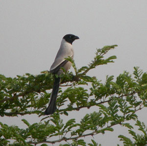 Hooded Treepie