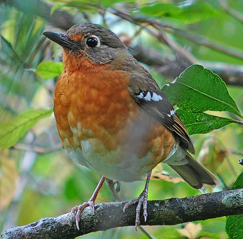 Orange Ground Thrush