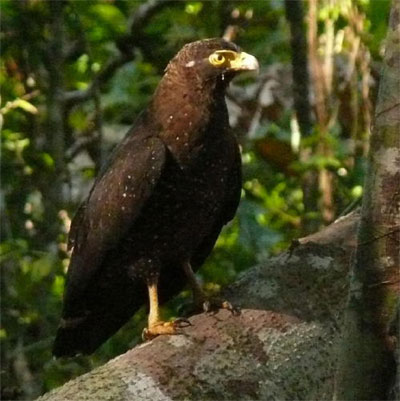 Andaman Serpent-Eagle