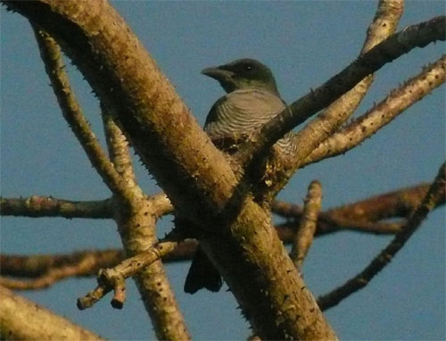 Andaman [Bar-bellied] Cuckoo-shrike