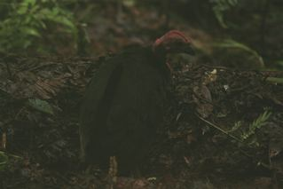 Bruijn's Brush-Turkey (female)