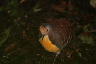 Cinnamon Ground-Dove