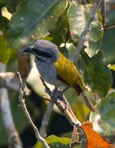 Yellow-shouldered Grosbeak
