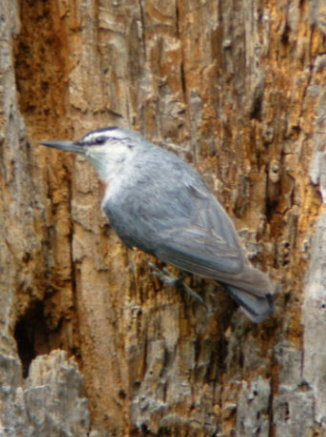KRUPPERS NUTHATCH
