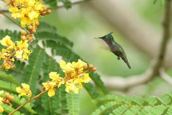 Antillean Crested Hummingbird