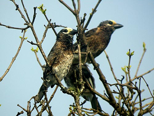 Whyte's Barbet