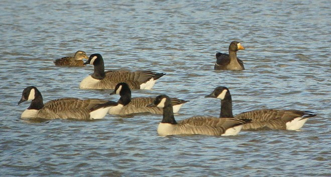1w Greenland White-fronted Goose
