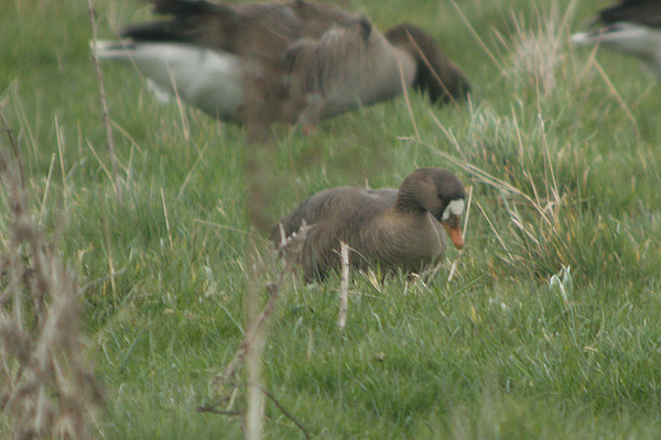 Greenland White-fronted Goose (Anser albifrons flavirostris)