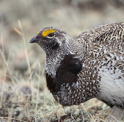 Hybrid Sharp-tailed Grouse/Greater Sage-Grouse