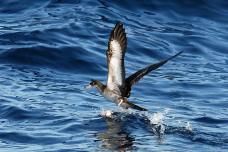 Wedge Tailed Shearwater