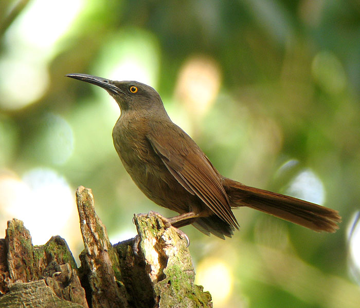 Brown Trembler (northern)