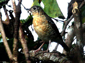 Fawn-breasted Thrush