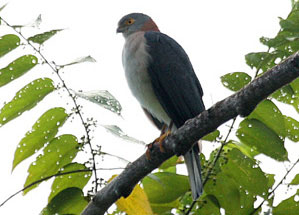 Rufous-necked Sparrowhawk