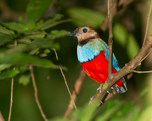Red-bellied Pitta