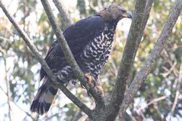 African Crowned-Eagle