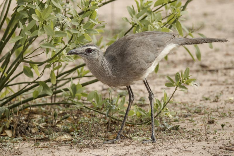 Black-legged Seriema