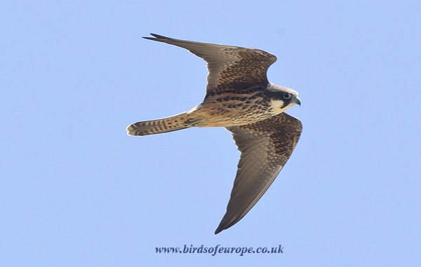 Female Eleonora's Falcon