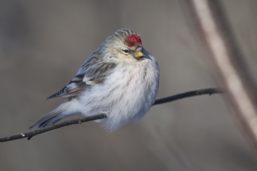 """Southern"" Hoary Redpoll"