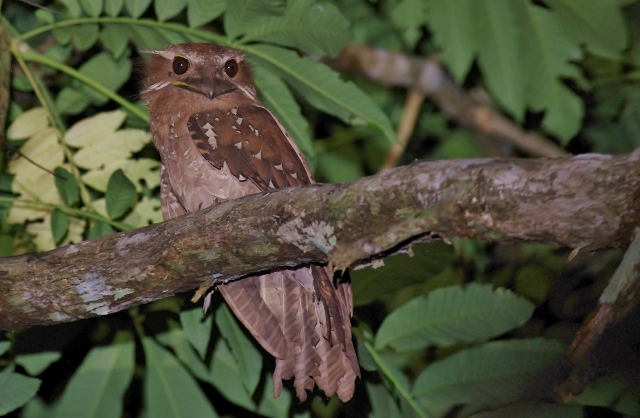 Large Frogmouth