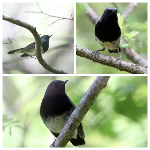Blackthroat