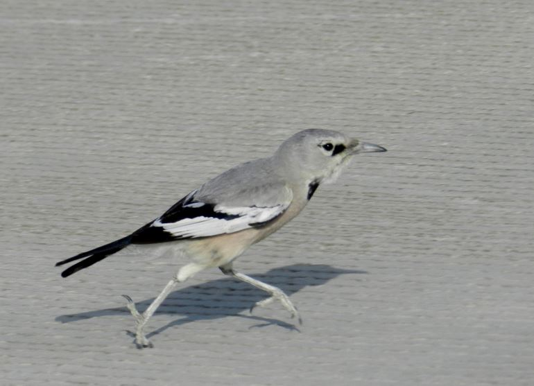 Pander's Ground-Jay (Podoces panderi)