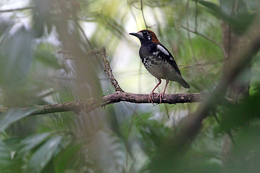 Chestnut-capped Thrush