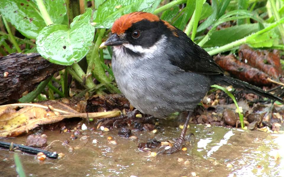 Slaty Brush-finch - Atlapetes schistaceus fumidus