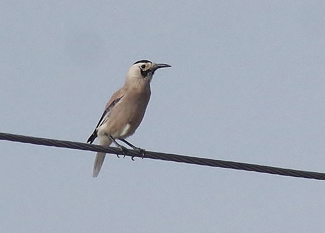 Biddulph's Ground Jay