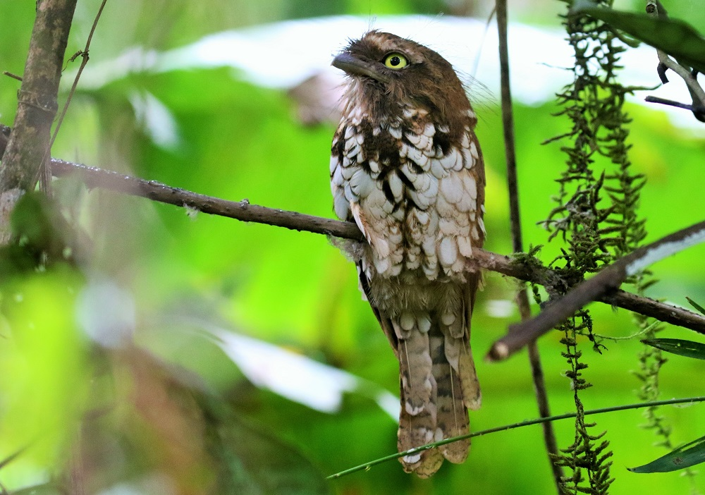 Pale-headed Frogmouth