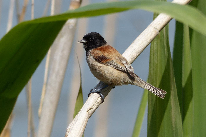 Black-headed Penduline Tit