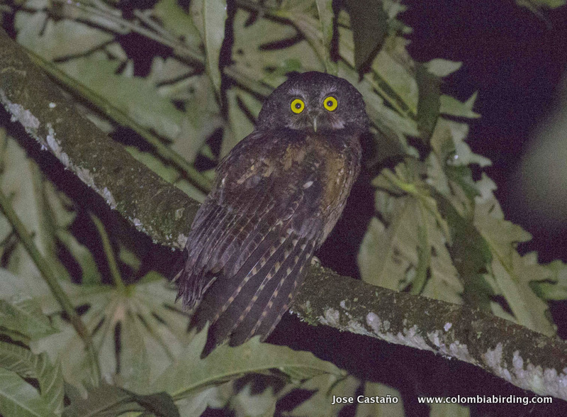 White-throated Screech-Owl - Megascops albogularis