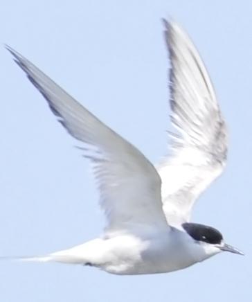 Eastern Common Tern S.h.longipennis or Arctic Tern
