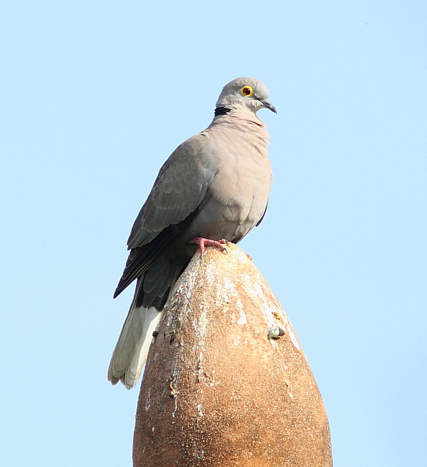 Burmese Collared Dove