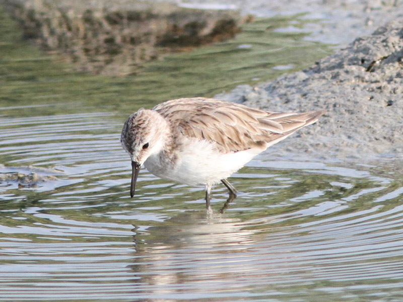 Red necked Stint