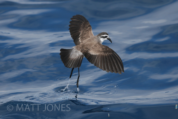 White faced Storm-petrel