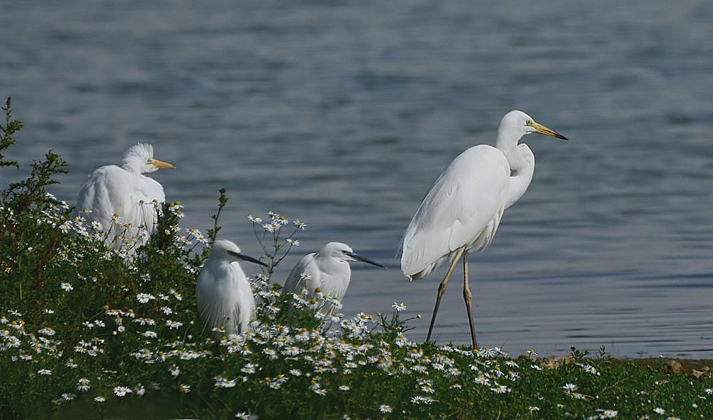 Great White Egrets and Little Egrets