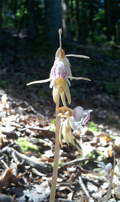 Ghost Orchid,