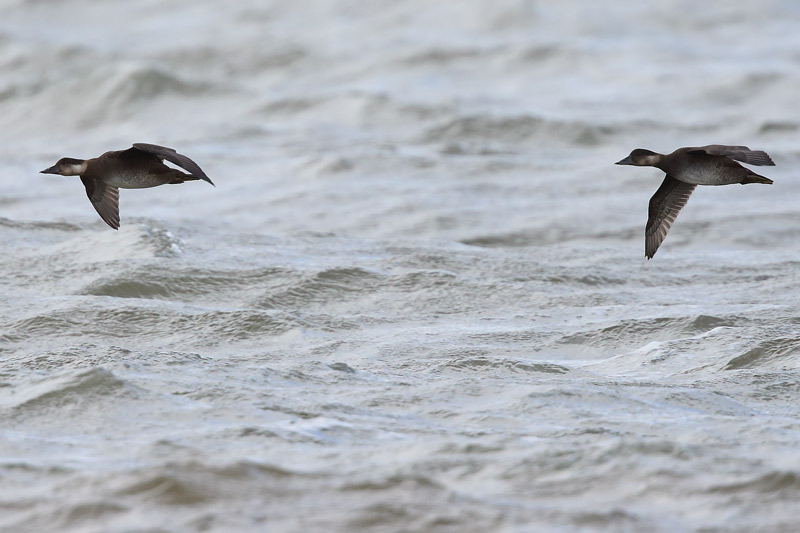 Juvenile Common Scoters