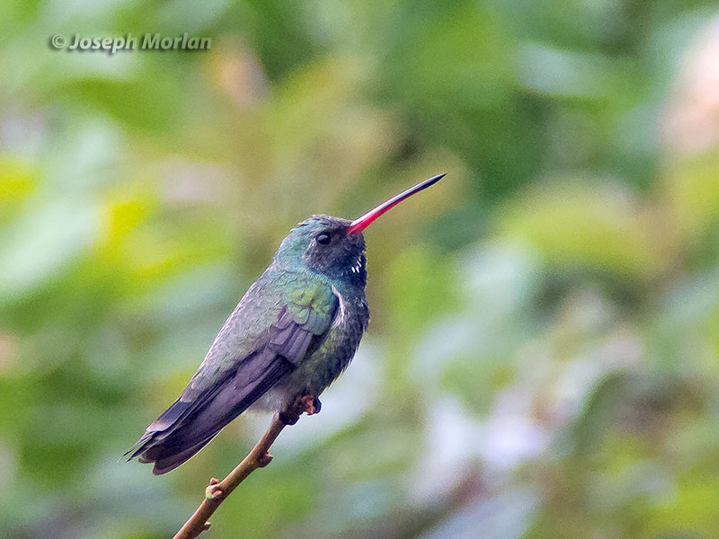 Broad-billed Hummingbird (Cynanthus latirostris magicus)