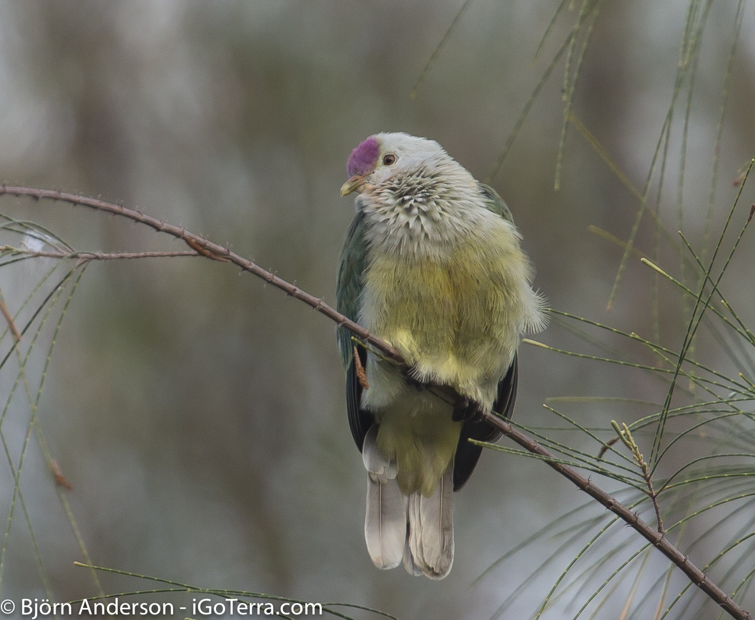 Lilac-crowned Fruit-Dove