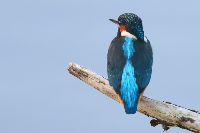Female Kingfisher