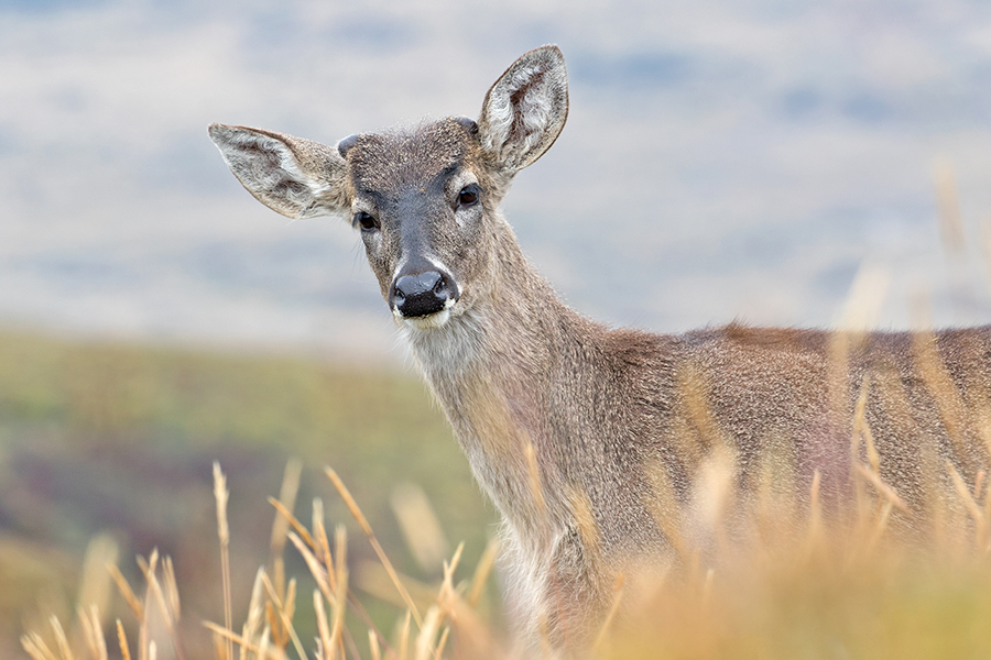 Andean White-tailed Deer