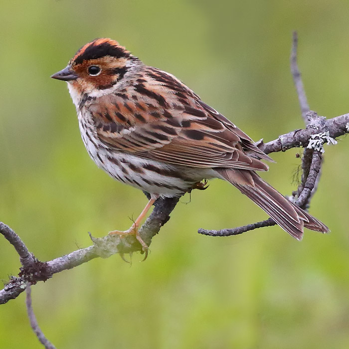 A lovely male Little Bunting