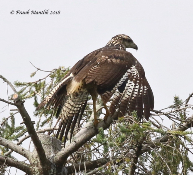 Great Black Hawk (Buteogallus urubitinga