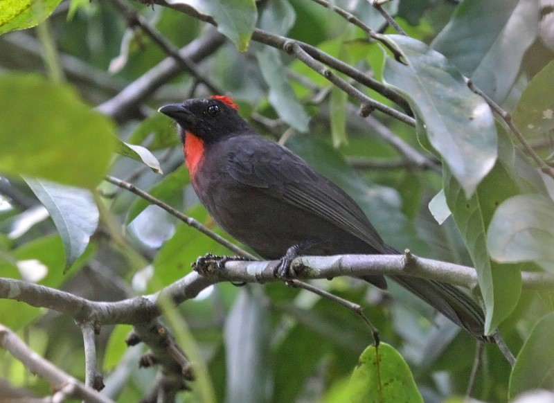Sooty Ant-tanager
