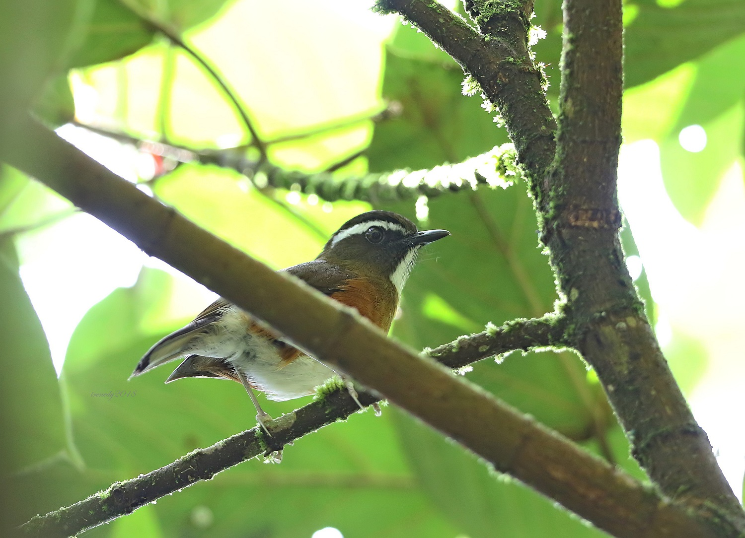 Luzon Jungle Flycatcher